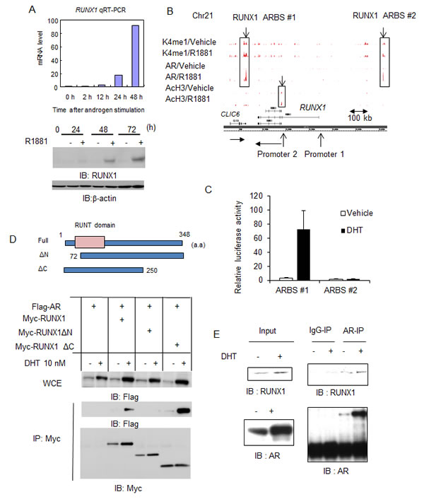 RUNX1, a direct target of AR in prostate cancer cells, interacts with AR androgen-dependently.