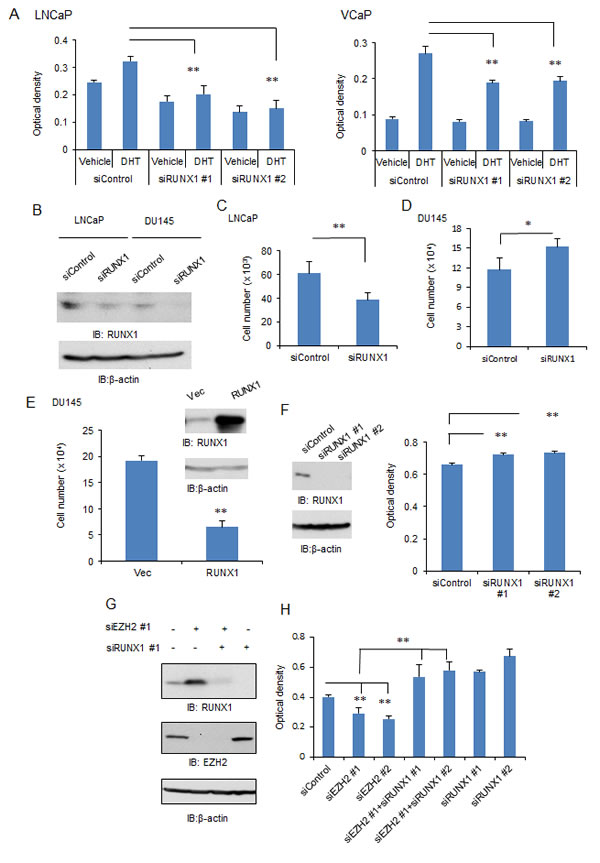 The role of RUNX1 in androgen-dependent and –independent prostate cancer cells.
