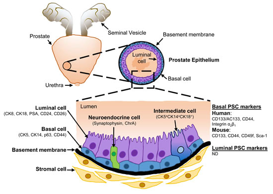 Schematic representation of the cellular architecture of the prostate epithelium.