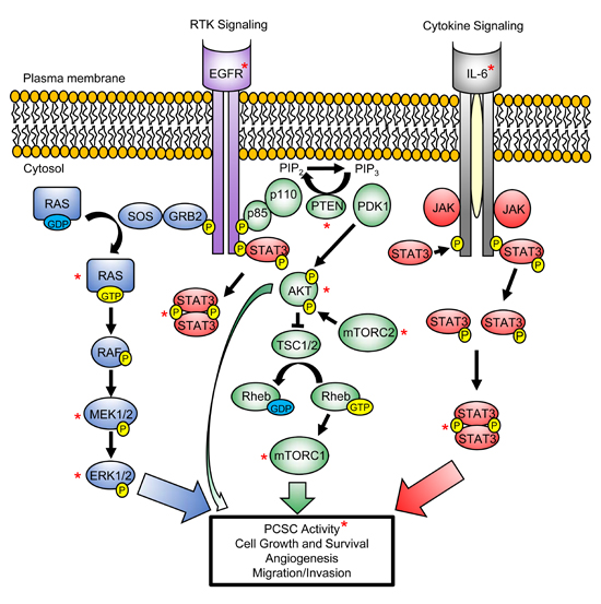 PI3K/AKT, RAS/MAPK and STAT3 signaling pathways converge to regulate PCSC maintenance and promote tumorigenesis.