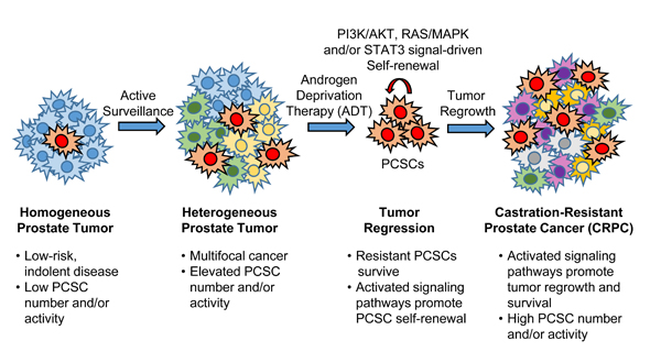 Reduced dependence on AR signaling promotes activation and subsequent cross-talk between PI3K/AKT, RAS/MAPK and STAT3 pathways to regulate PCSC maintenance and tumorigenesis.