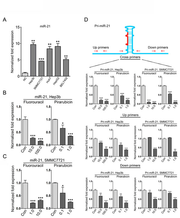 miR-21 expression is suppressed in HCC cells with 5-fluorouracil and pirarubicin treatment.