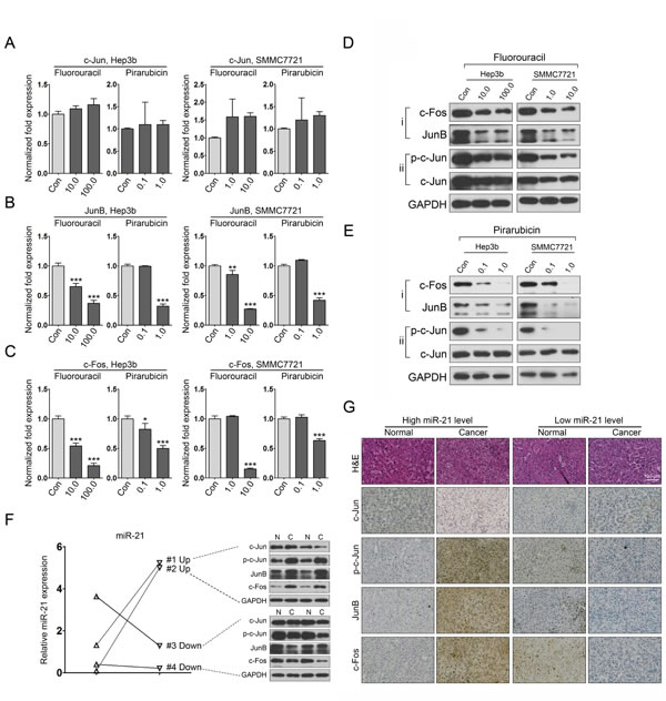 5-fluorouracil and pirarubicin treatment leads to miR-21 downregulation in HCC cells via inhibiting the expression of AP-1 proteins.