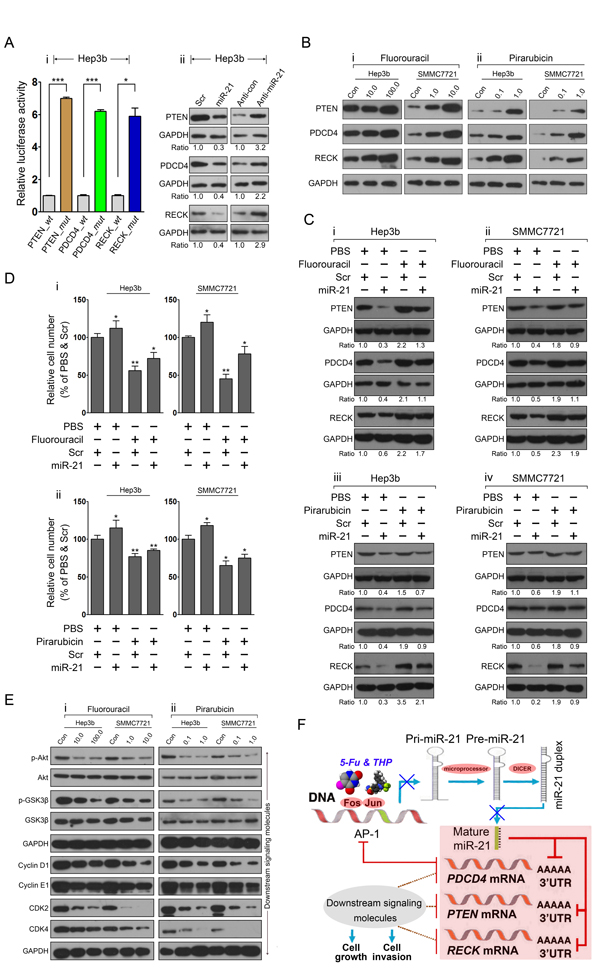 The miR-21-mediated program is modified by 5-fluorouracil and pirarubicin treatment in HCC cells.