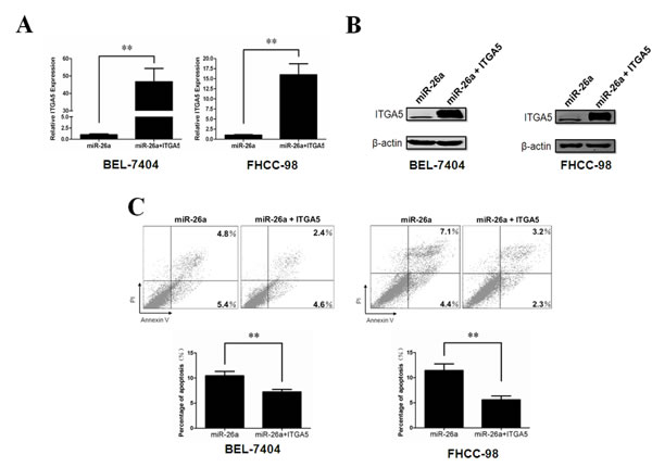 ITGA5 over-expression rescues phenotypes induced by miR-26a.