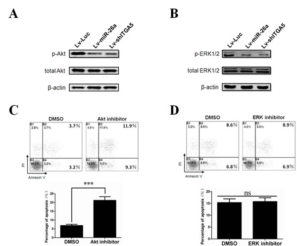 Inactivation of Akt is an essential downstream signal in ITGA5 suppression induced tumor cell anoikis.