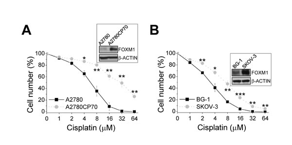 Correlation between FOXM1 levels and cisplatin resistance in ovarian cancer cells.