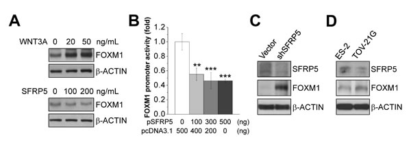 Effect of the WNT/β-CATENIN signaling on FOXM1 expression.
