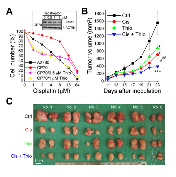 Thiostrepton inhibits the growth of cisplatin-resistant ovarian cancer cells