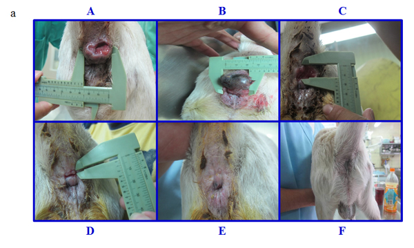 Morphological changes in the perianal gland adenoma of dog #6 during treatment with pardaxin for 28 days.