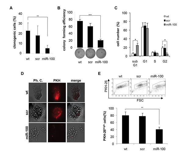 Ectopic expression of miR-100 in BrCSCs impairs self-renewal.