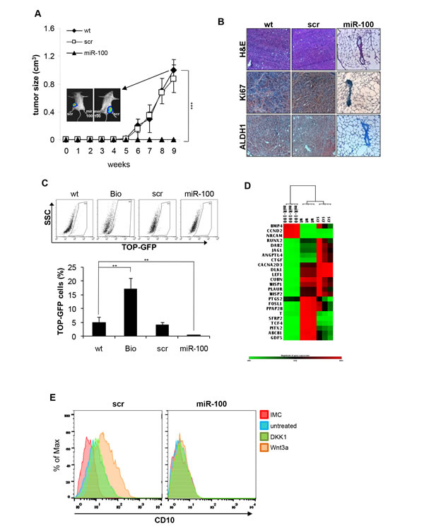 MiR-100 affects tumor-initiating ability and inhibits Wnt/β-catenin signaling pathway in BrCSCs.
