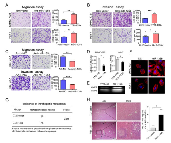 MiR-135b promotes hepatocellular carcinoma (HCC) cell migration and invasion in vitro and metastasis in vivo.