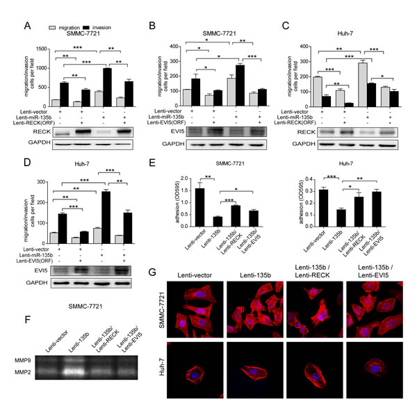 MiR-135b promotes HCC cell migration and invasion via regulation of RECK and EVI5.