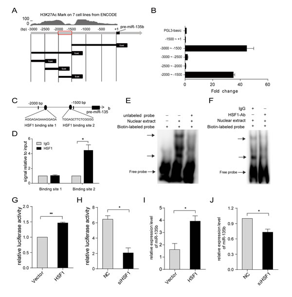 MiR-135b is regulated by heat shock transcription factor 1 (HSF1).
