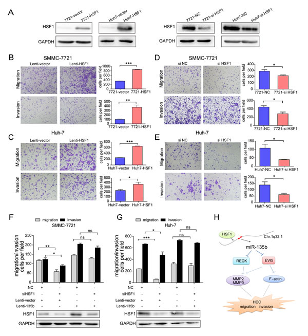 Heat shock transcription factor 1 (HSF1) promotes hepatocellular carcinoma (HCC) cell migration and invasion.