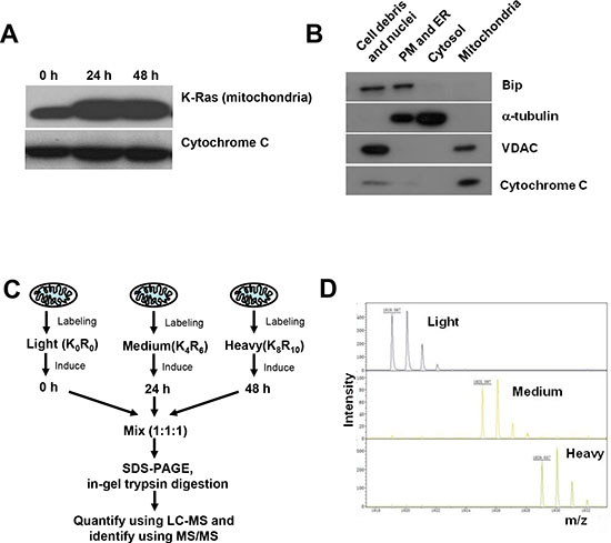 SILAC analysis of mitochondrial proteome in cells with and without K-RasG12V expression.
