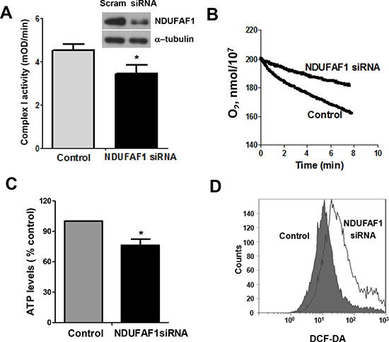 Knockdown of NDUFAF1 causes mitochondrial dysfunction.