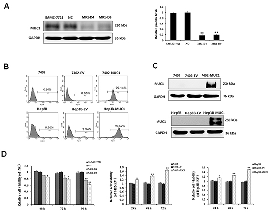 MUC1 expression enhances HCC cell proliferation.