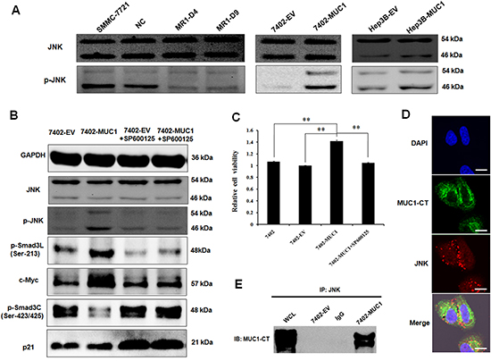 MUC1 modulates Smad3 signaling by directly binding and activating JNK in HCC cells.