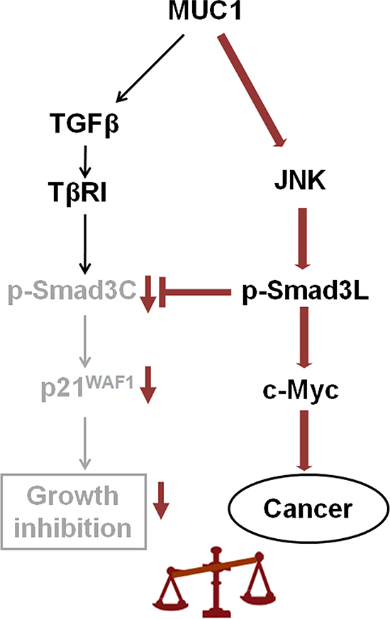 Proposed model how MUC1 promotes HCC cell proliferation by mediating Smad3 signaling.
