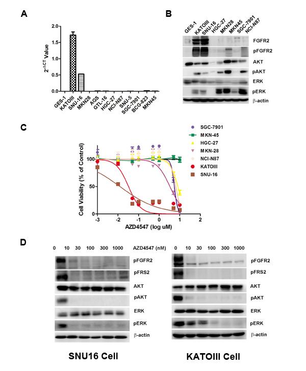 FGFR2 gene amplification predicts AZD4547 sensitivity in GC cells.