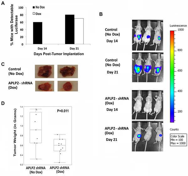 Mice implanted with S2-013-APLP2-shRNA orthotopic pancreatic tumors and then given Dox developed tumors at a slower rate and had smaller primary tumors, compared to control mice that were not given Dox.