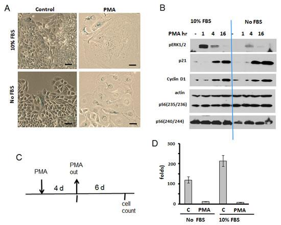 PMA-induced senescence in SKBr3 cells.