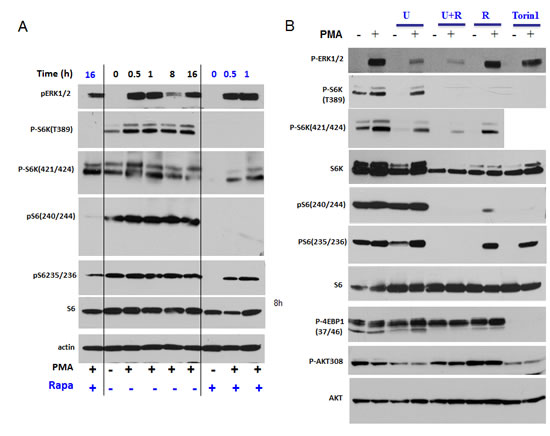 PMA-induced activation of the mTOR pathway in SkBr3 cells.