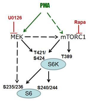 PMA-activated pathways.