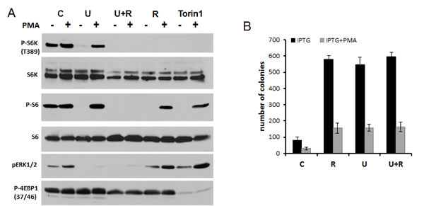 PMA induced rapamycin-insensitive p-S6 in HT-p21 cells A.