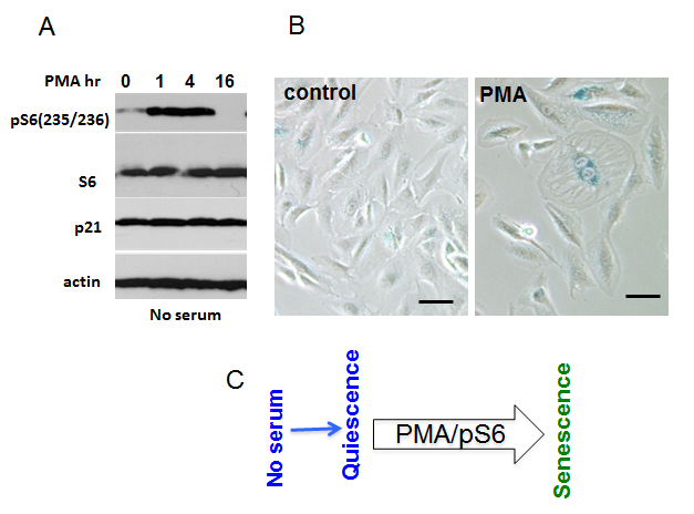 mTOR-dependent geroconversion in RPE cells by PMA.