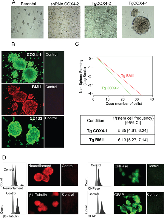 COX4-1 glioma cells form neurosphere-like tumor spheroids expressing neural stem cell markers.