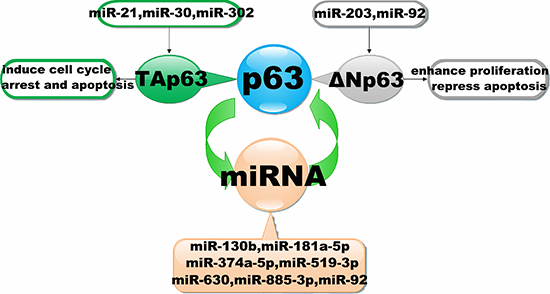 Interaction of miRNAs with the p63 signalling pathway.