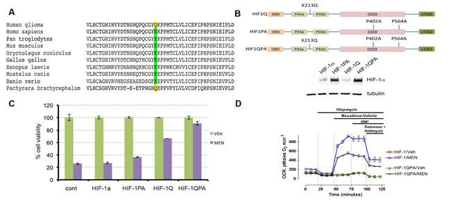 K213Q HIF-1α mutant attenuates the cytotoxic effects of menadione.
