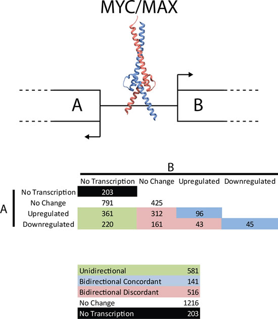Transcriptional activity from bidirectional promoters.