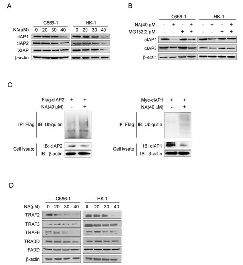 NA induces auto-ubiquitination and proteasomal degradation of cIAP1/2.