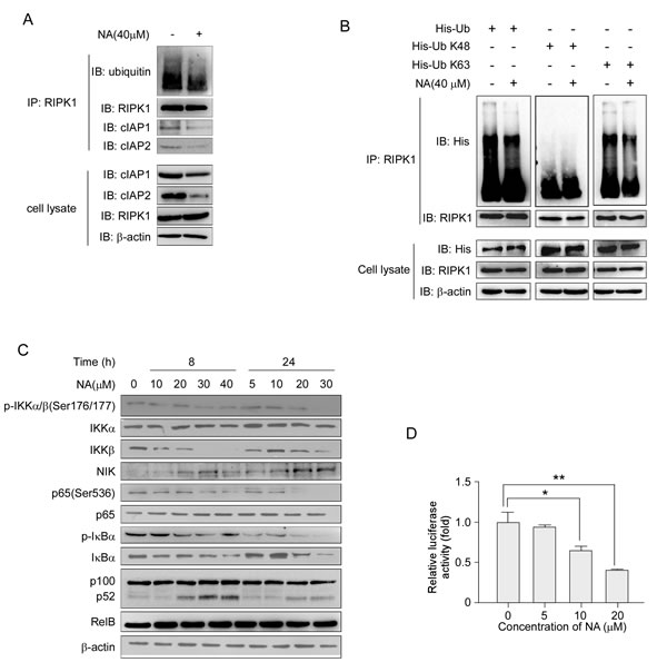 NA treatment abolishes RIPK1 ubiquitination and activates the NF-κB non-canonical pathway.