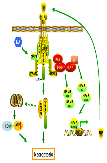 Proposed model of the mechanisms of NA-induced cell death.