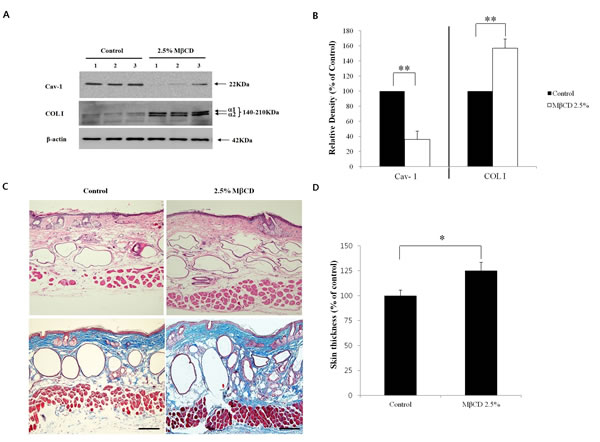 Anti-aging activity of MβCD in the skin of hairless mice.