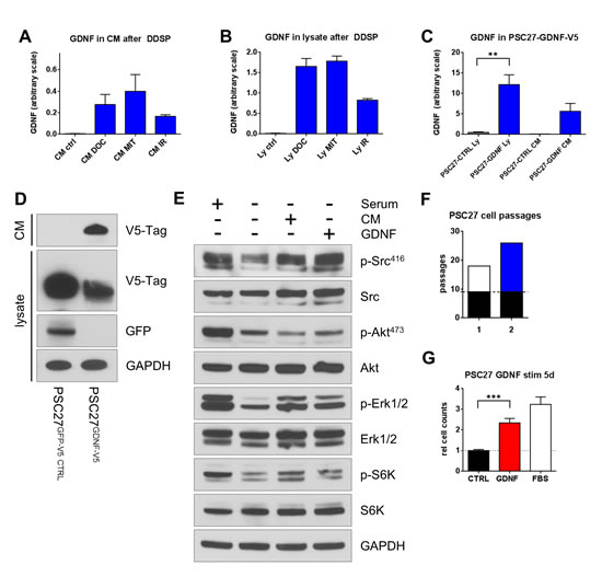 DNA damages induces GDNF secretion producing autocrine effects in prostate fibroblasts.