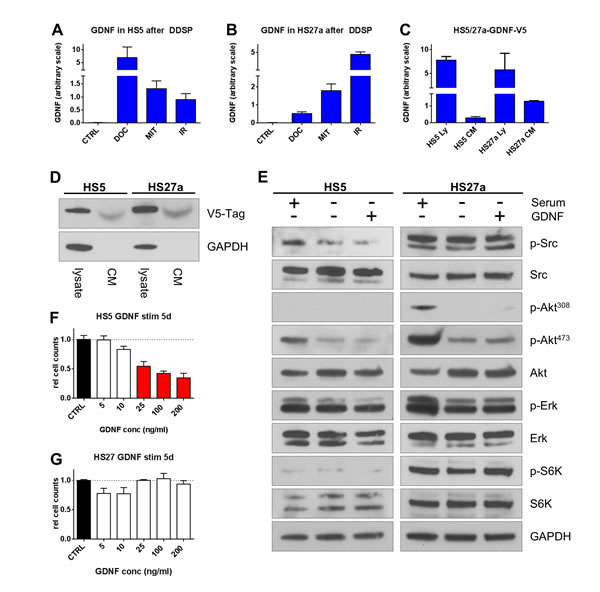 Bone fibroblasts induce GDNF following DNA damage but lack autocrine signaling.