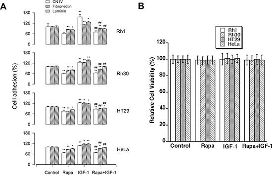 Rapamycin inhibits the basal or IGF-1-stimulated cell adhesion.
