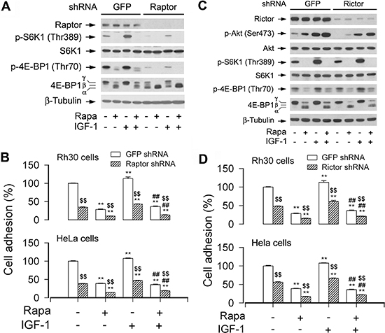 Disruption of mTORC1 or mTORC2 suppresses cell adhesion.