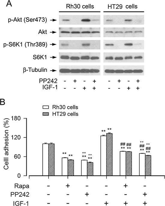 Inhibition of mTORC1/2 by PP242 potently suppresses the basal or IGF-1-stimulated cell adhesion.