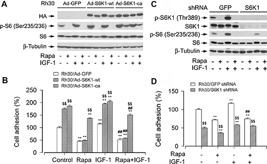 mTORC1-mediated S6K1 pathway is involved in the regulation of cell adhesion.