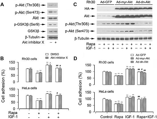 Pharmacological inhibition of Akt or ectopic expression of constitutively active or dominant negative Akt does not affect cell adhesion.