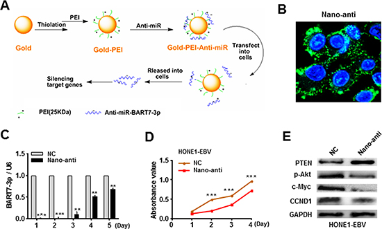 Silencing of EBV-miR-BART7-3p reduced the in vitro growth of EBV-positive NPC cells.