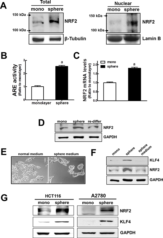 Activation of NRF2 signaling in MCF7 mammospheres.