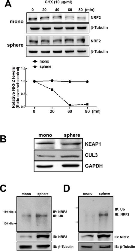 Stabilization of NRF2 protein in MCF7 mammospheres.